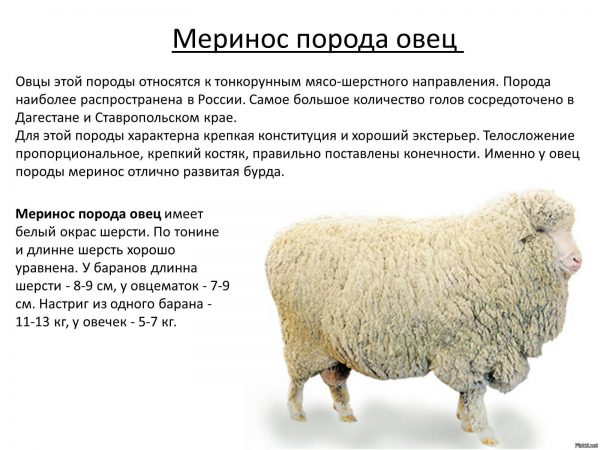 Меринос порода овец