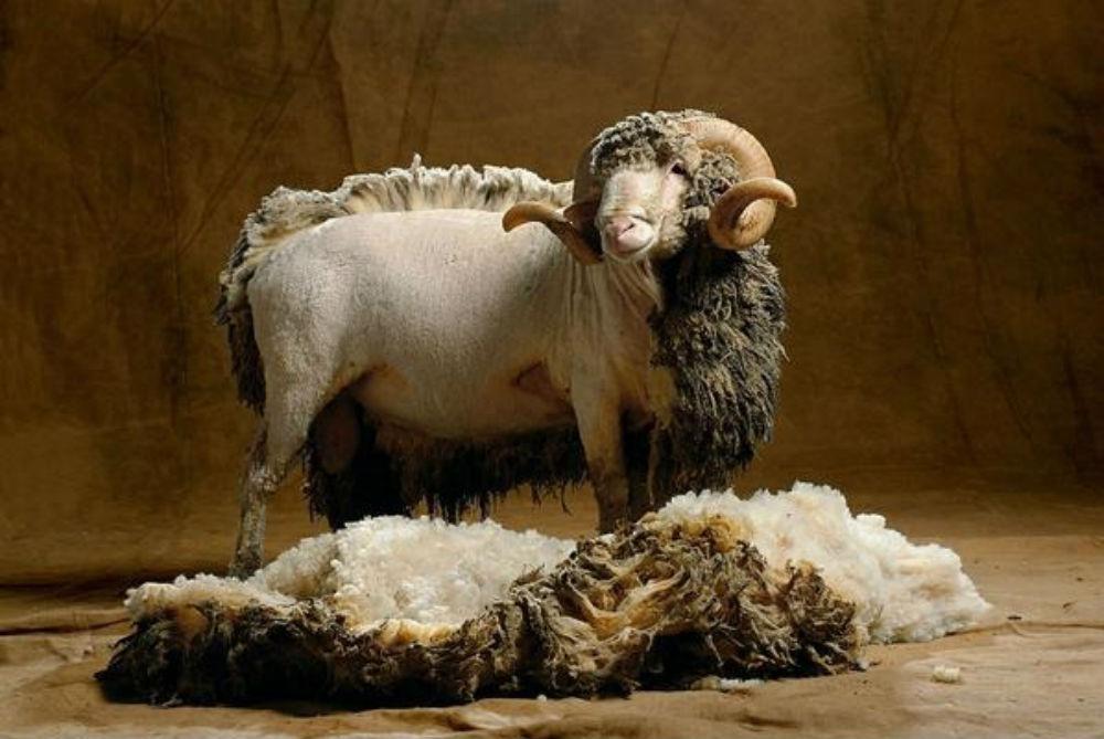 Стрижка овцы породы Меринос